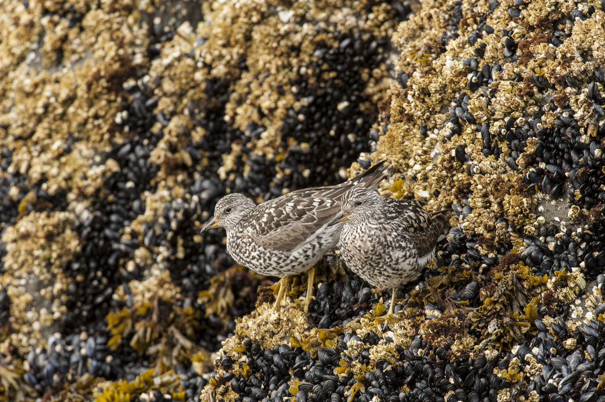 Pair of surfbirds on barnacle and mussel-covered rocks, Kukak Bay, Katmai National Park & Preserve
