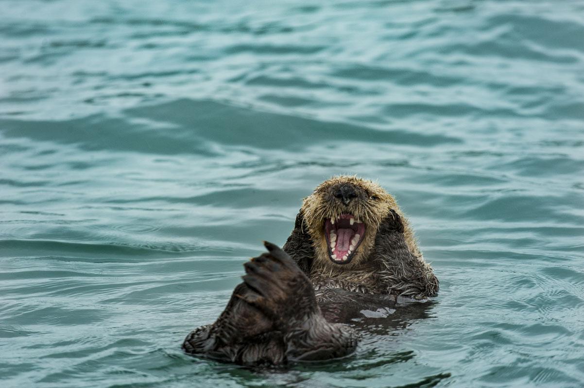 Katmai National Park & Preserve, Kukak Bay, marine mammal, ocean, sea otter, wildlife, photo