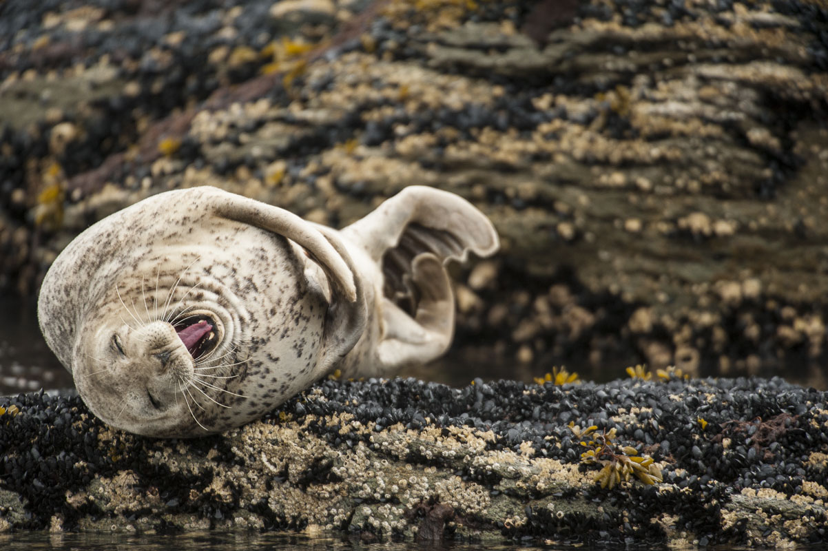I am honestly not sure what this harbor seal is doing at a haulout in Kukak Bay, Katmai National Park, but it looks like he is...