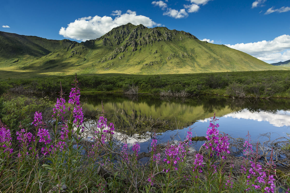 Fireweed blooms along a pond on a calm late-summer morning in Tombstone Territorial Park, Yukon Territory, Canada.