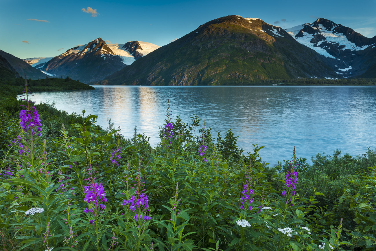 A patch of fireweed and yarrow add color to the shoreline near Portage Lake, with evening light reflecting from Portage Glacier...