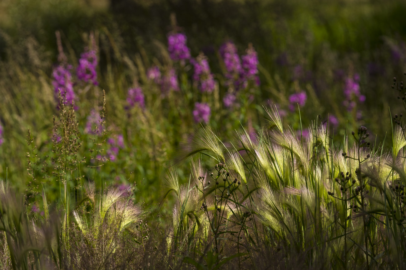 Afternoon light brightens up the seeds of foxtail grass with fireweed in the background at the Husky Homestead near Denali National...