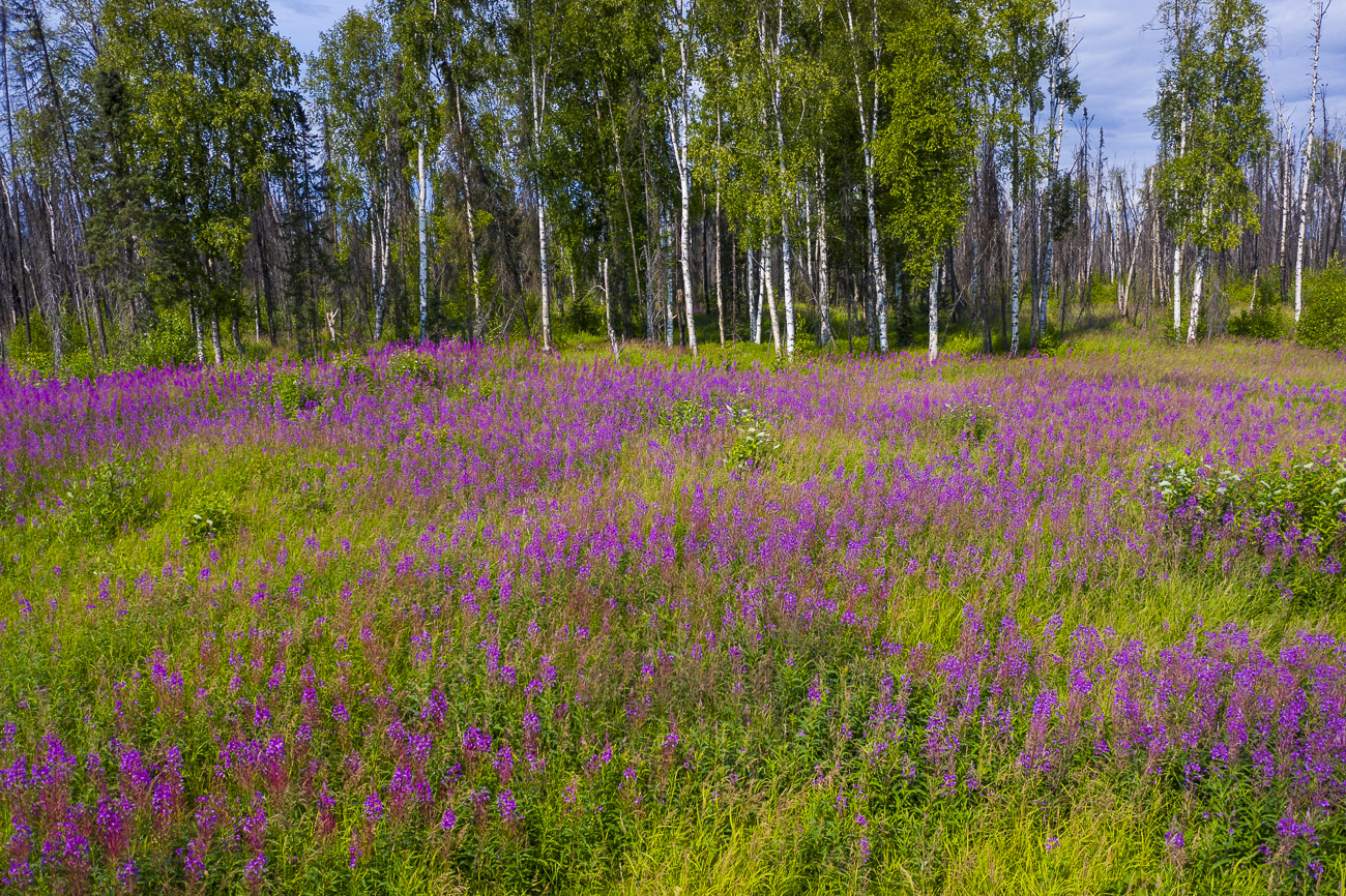 A field of fireweed spreads out from the site of a recent wildfire burn near the Parks Highway.