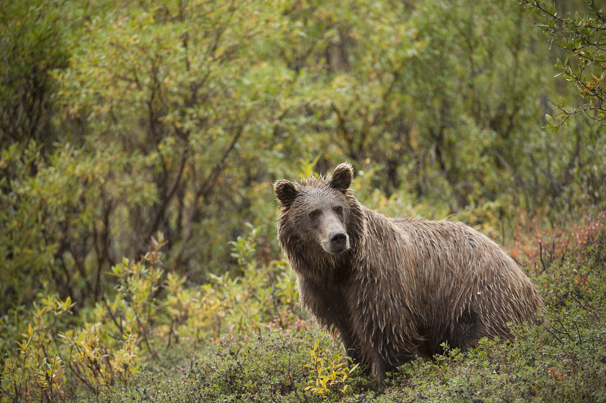 A soaked brown bear pauses at the base of Polycrhome Pass, Denali National Park & Preserve.