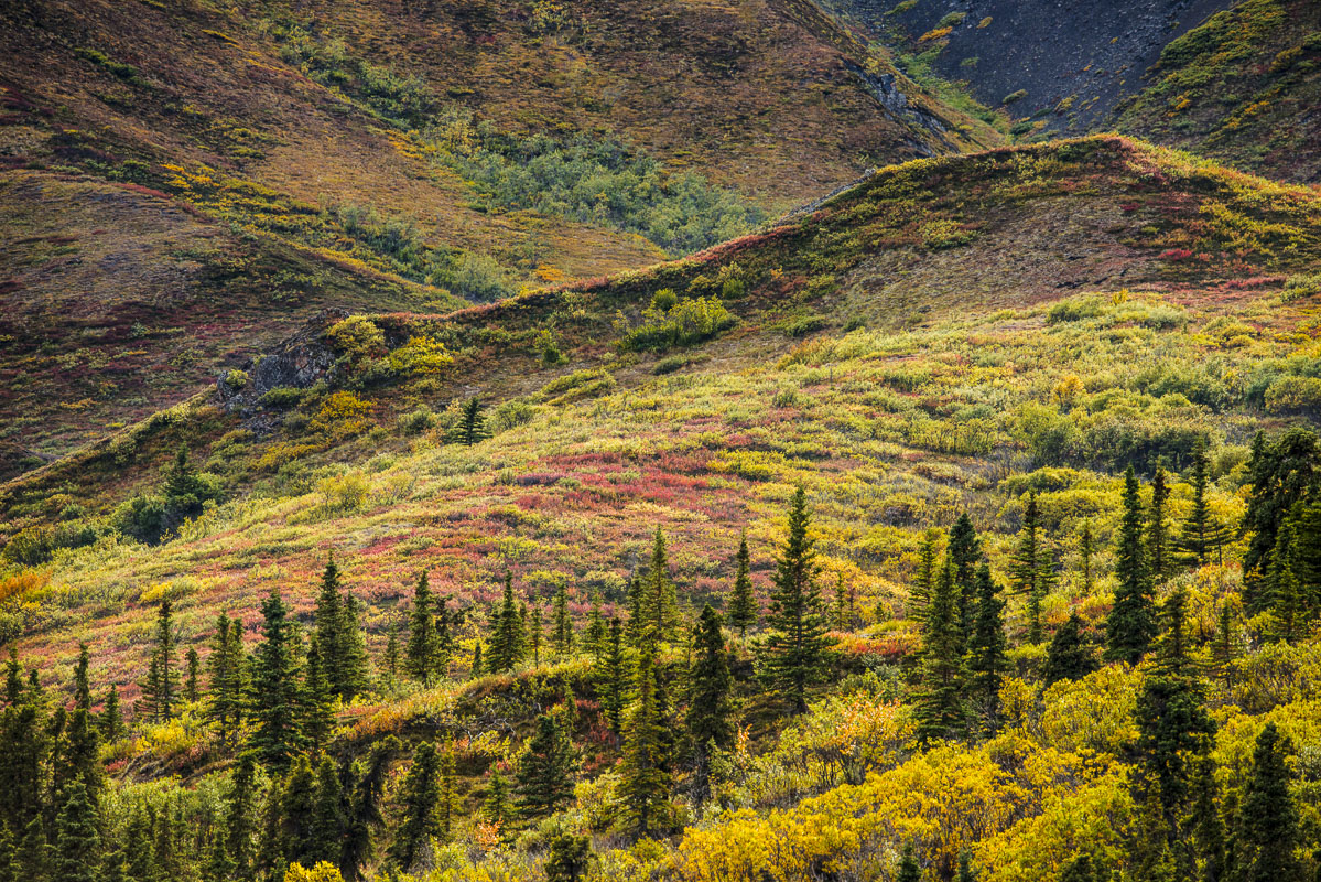 Diversity of fall colors in Igloo Canyon, Denali National Park & Preserve.