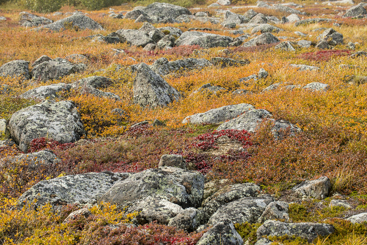 Scattered rocks and boulder at Finger Mountain along the Dalton Highway are mixed with dwarf birch, bear berries, and other Arctic...