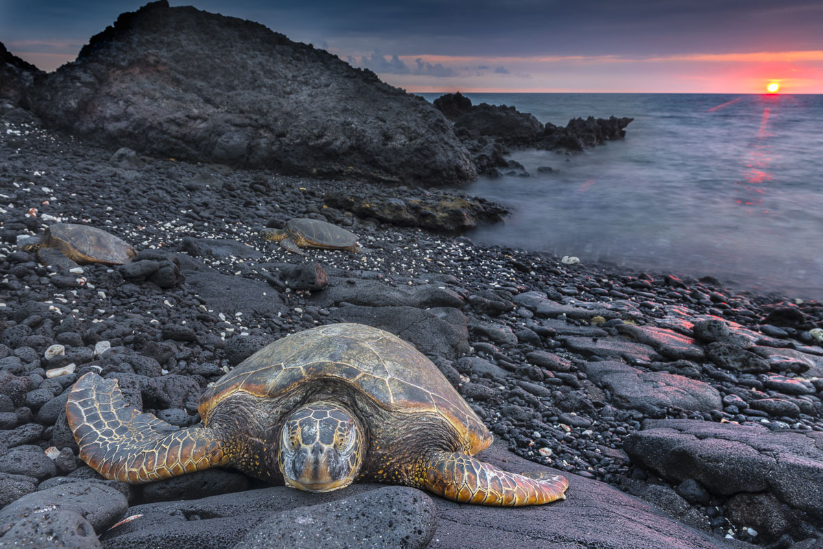 A trio of sea turtles land on a black lava beach on the Kona Coast of Hawaii in summer at sunset.