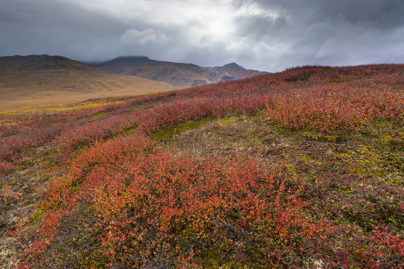 Dwarf birch in fall colors adds a bright patch of reddish orange to the Arctic tundra of the Chandalar Shelf in the Brooks Range...