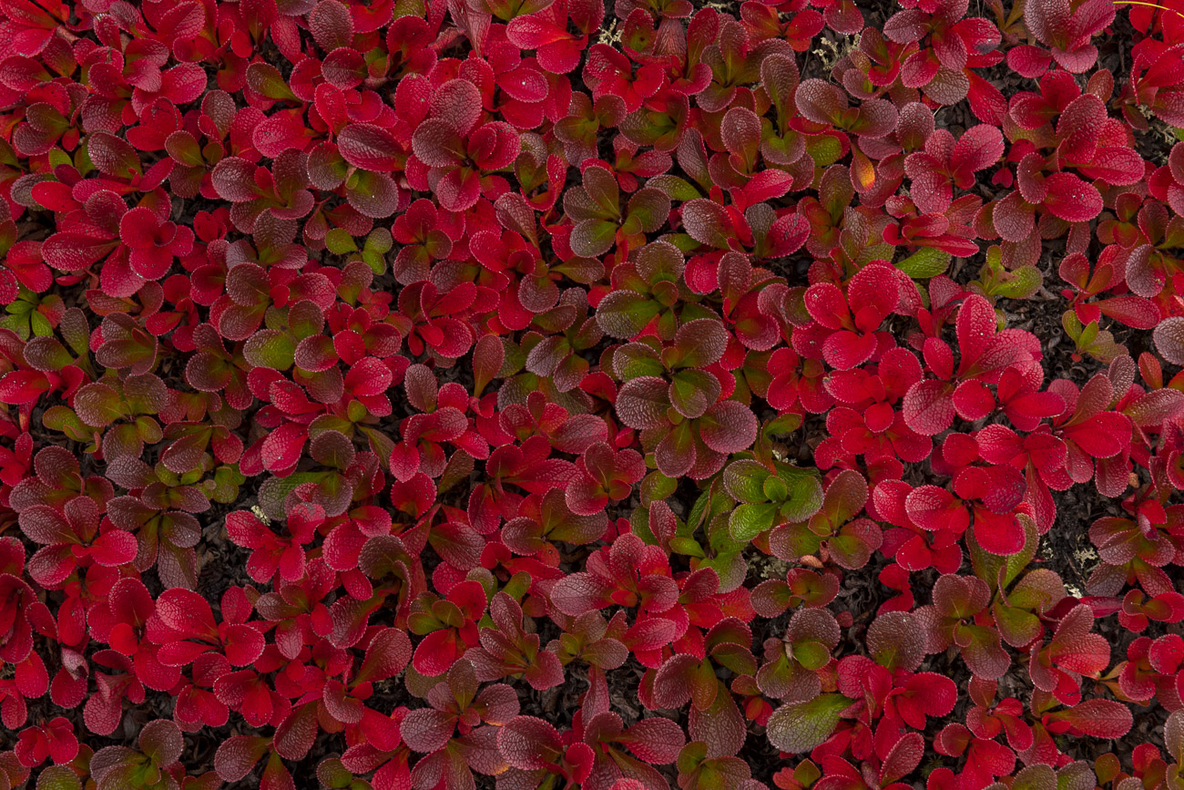 A patch of bear berries turn into various hues of red during autumn in the alpine tundra of the Brooks Range at the Chandalar...