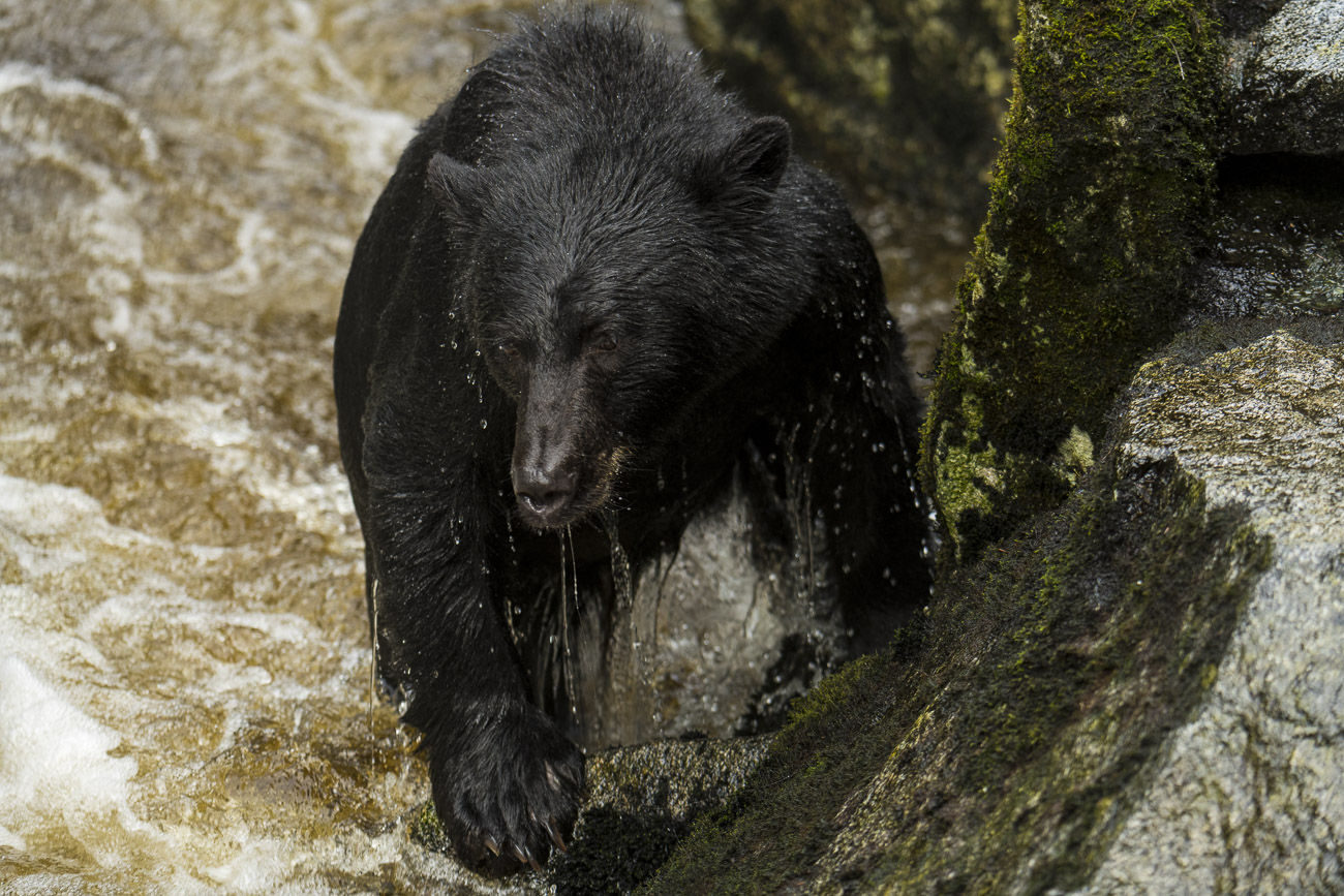 A black bear boar emerges from inside the water of Anan Creek, standing on the shore for a moment to allow the water to flow...
