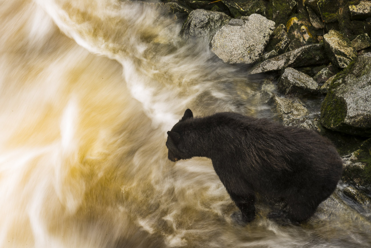 When fishing for salmon, bears will often stand still enough for a long enough period of time to use a slower shutter speed exposure...