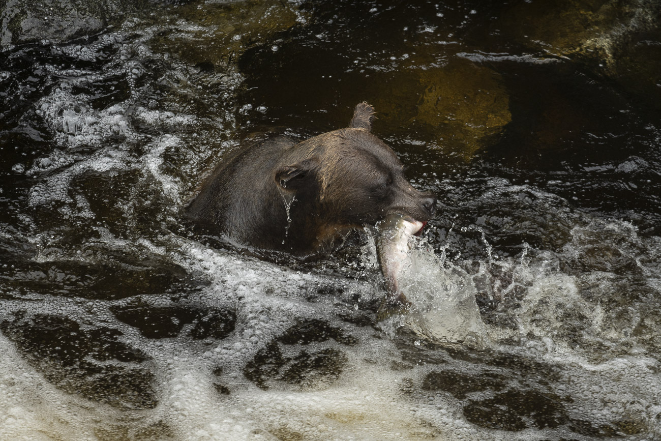 "While the practice of ""snorkeling"" is a common fishing technique - the bear sticks its head under water to look for salmon to..."