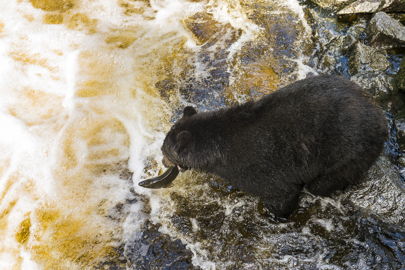 A black bear sow successfully catches a salmon while fishing along the shore at Anan Creek. This photo was captured from the...