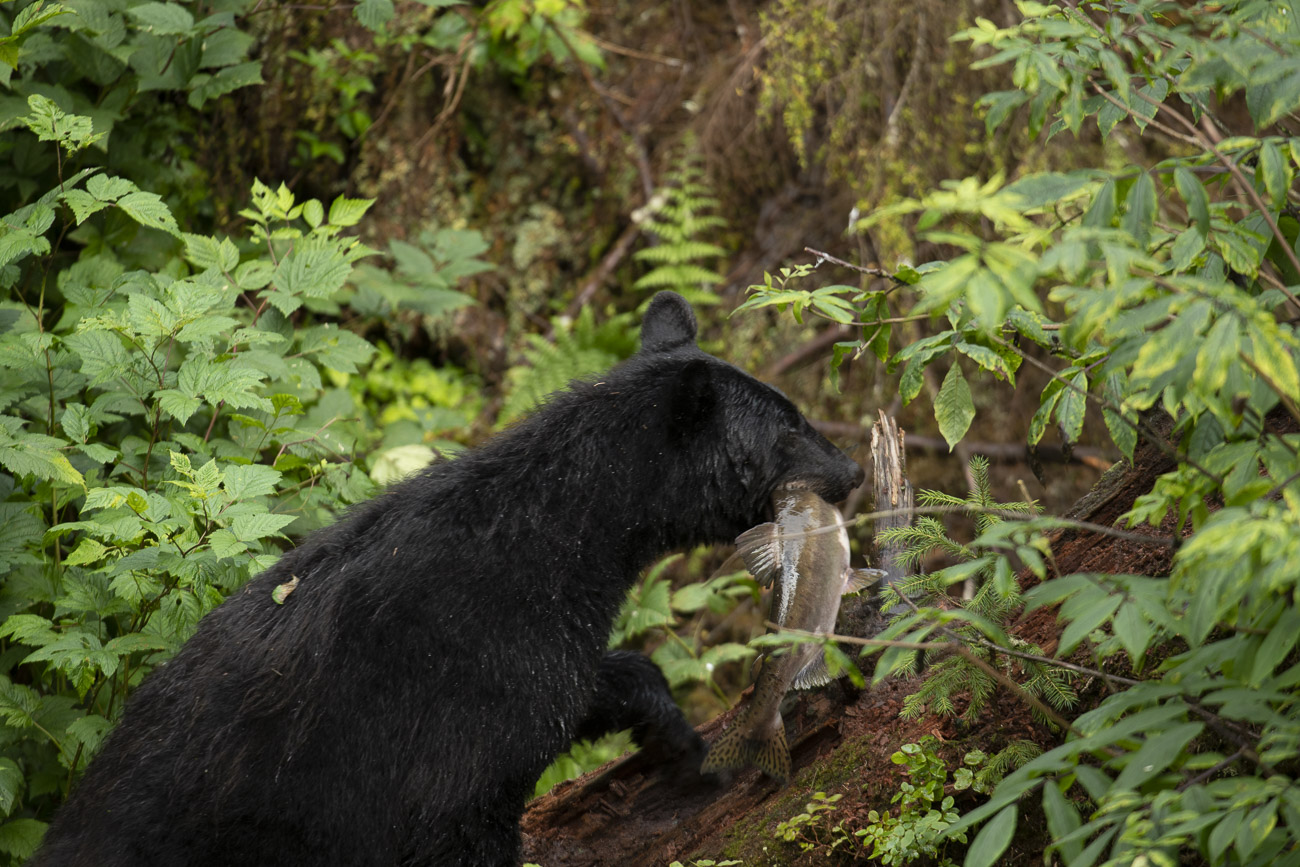 While photographing black bears feeding on salmon at Anan Creek, I noticed a common practice among many of the bears was to catch...