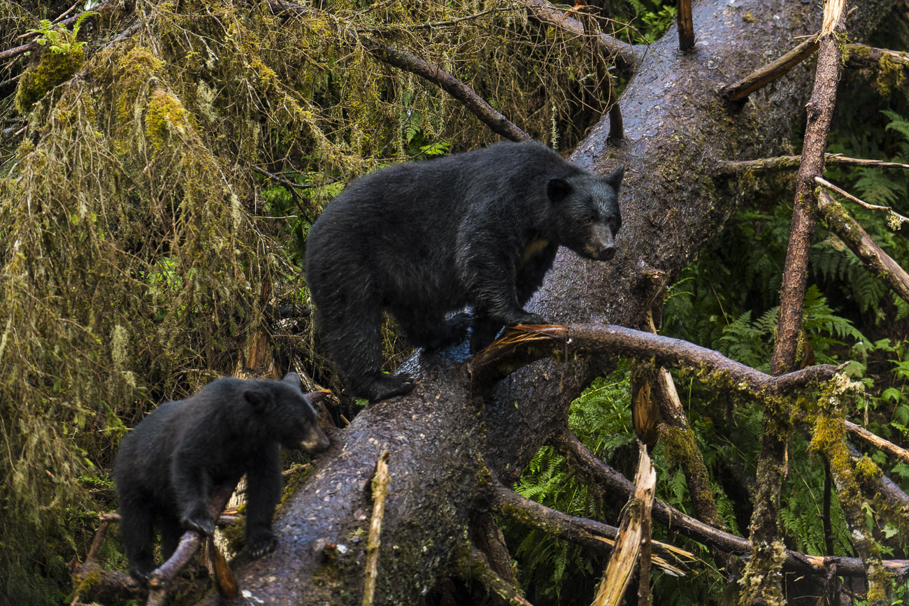 A black bear sow and her spring cub watch from the safe perch of a  fallen tree as several boars move nearby. The bears were...