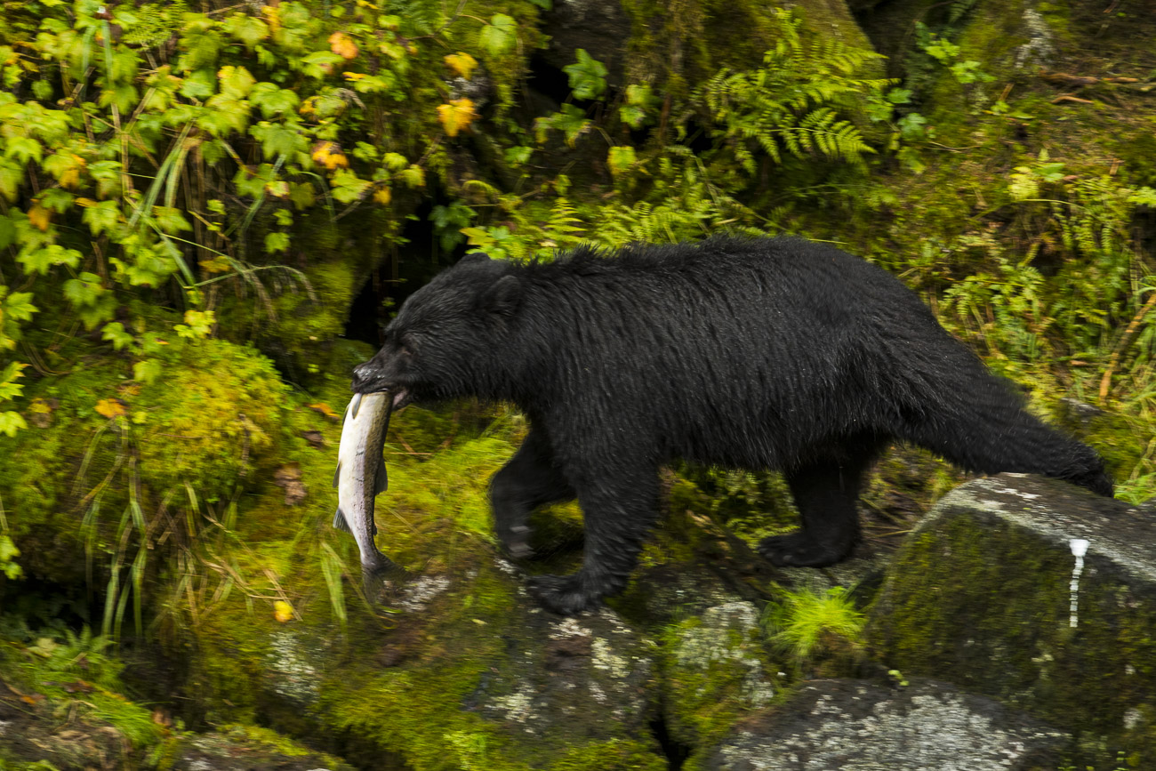 A black bear boar takes his successful salmon catch up and away from Anan Creek to feed without being disturbed by other bears...