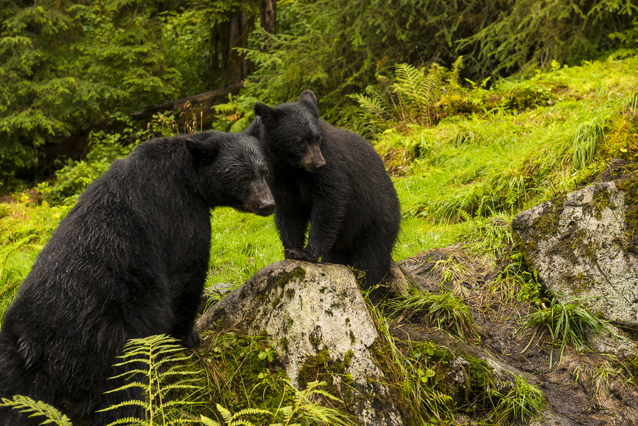 A black bear sow and her spring cub watch a nearby black bear boar that has caught a salmon. The bears were at Anan Creek, with...