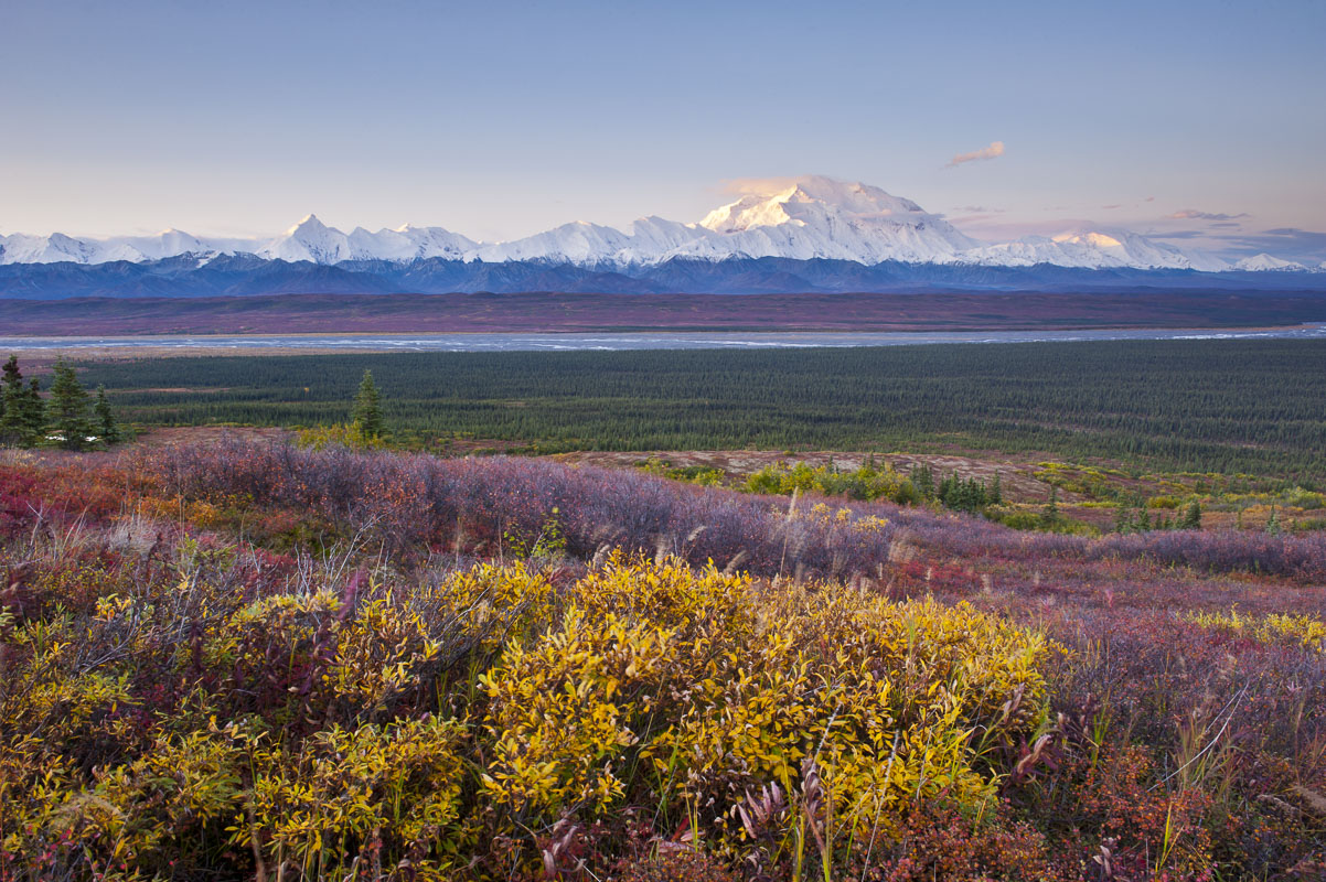 Dwarf birch and willow fill the foreground with autumn colors as first light hits the slopes of Mt. Denali in Denali National...