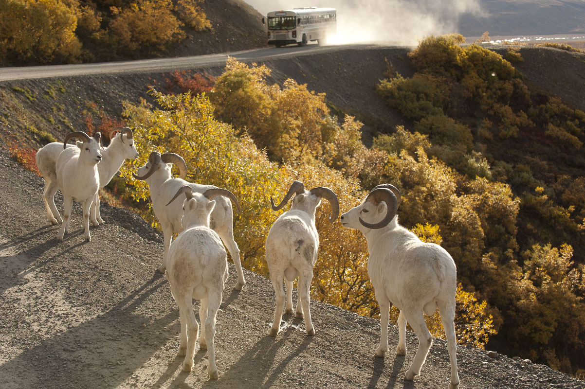 A group of Dall sheep rams hang out on the road near Polychrome Pass in Denali National Park & Preserve, as a tour bus approaches...