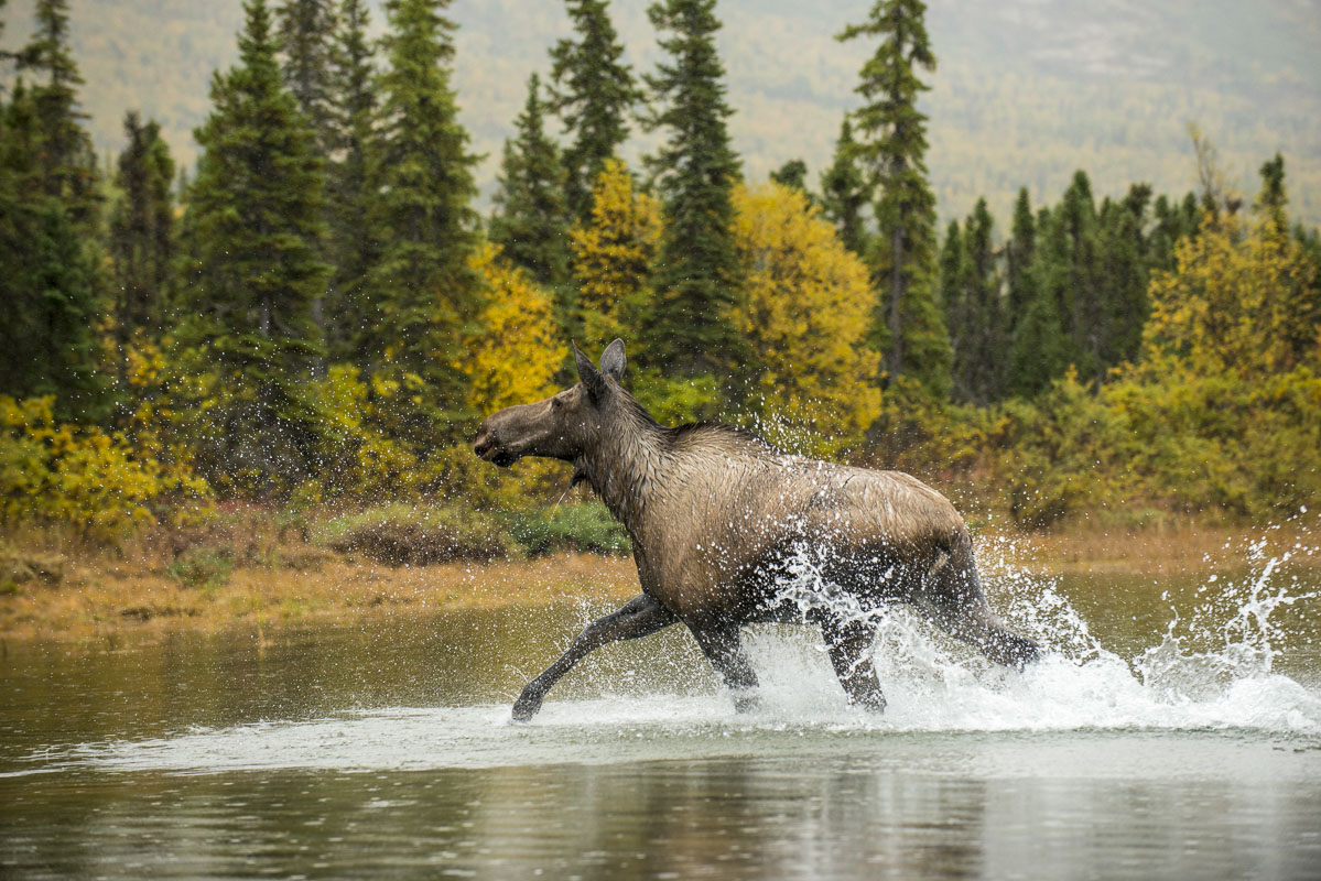 Heading by boat back to the village of Nondalton after joining some locals on their fall moose hunt on the Chulitna River, we...
