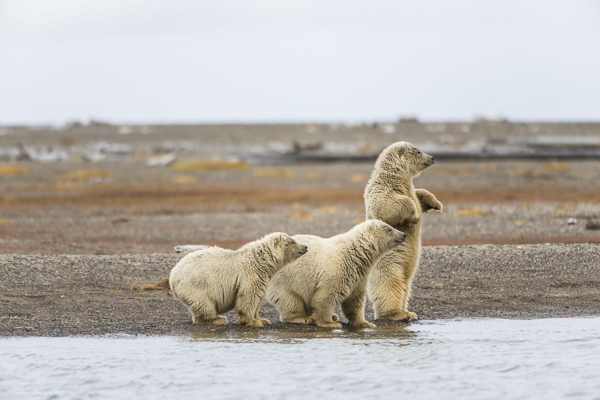 Polar bear triplets watch with interest as two male adult polar bears spar nearby on the Bernard Spit, Kaktovik, Alaska.