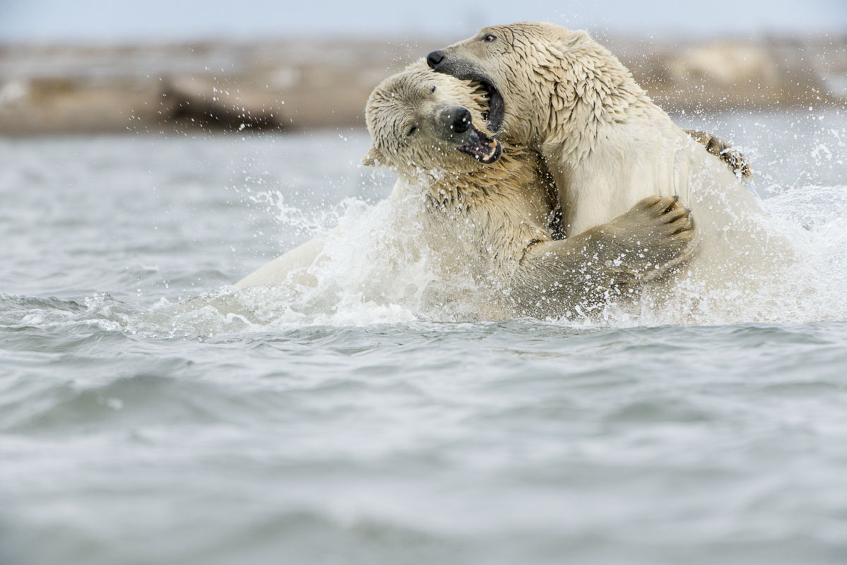 Polar bears fighting in water