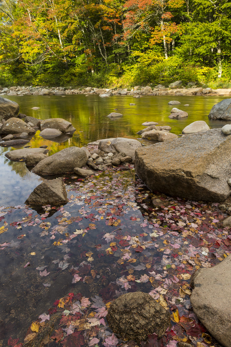 Red and pink maple leaves gather near the shore's edge alongside a stream in New Hampshire.