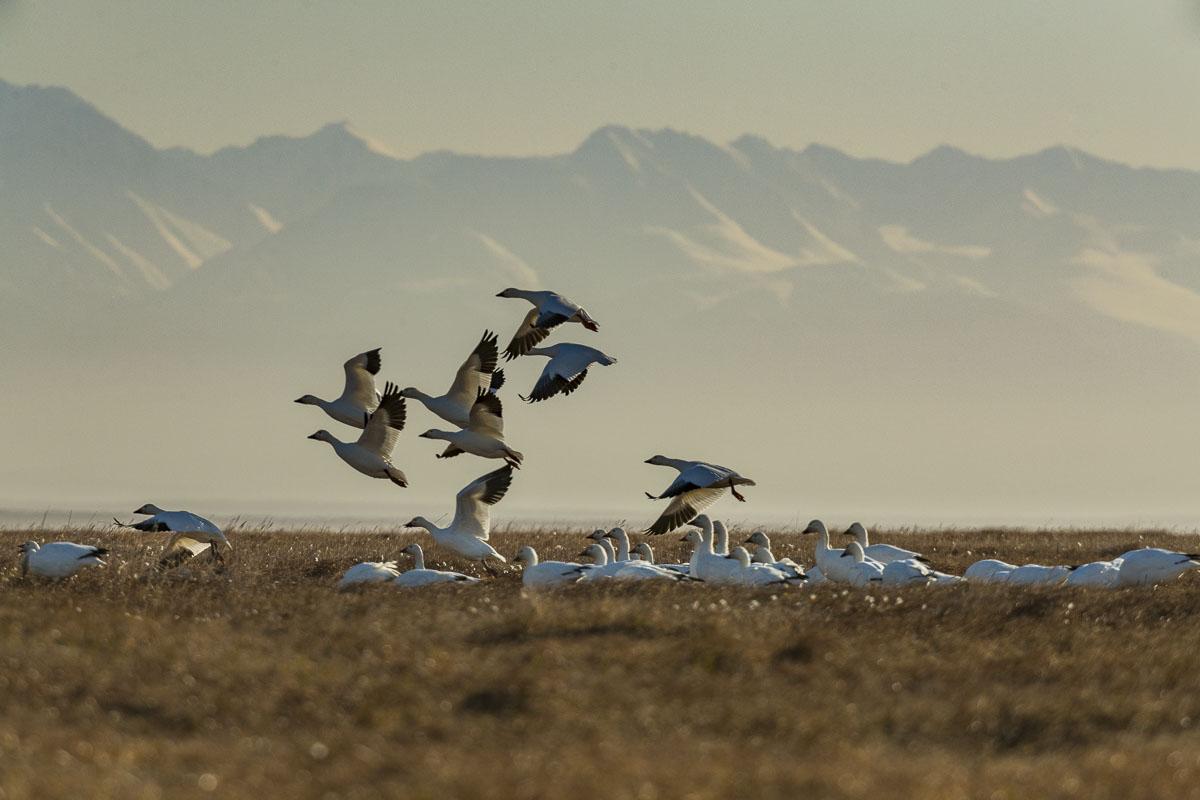 Arctic, Arctic National Wildlife Refuge, Autumn, Barter Island, Brooks Range, Kaktovik, migration, migrator birds, snow geese, photo