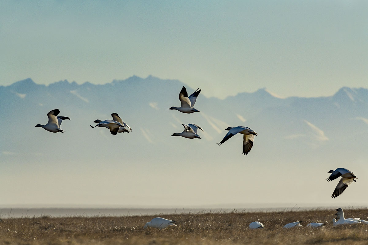 Arctic, Arctic National Wildlife Refuge, Autumn, Barter Island, Brooks Range, Kaktovik, migration, migrator birds, snow geese, photo