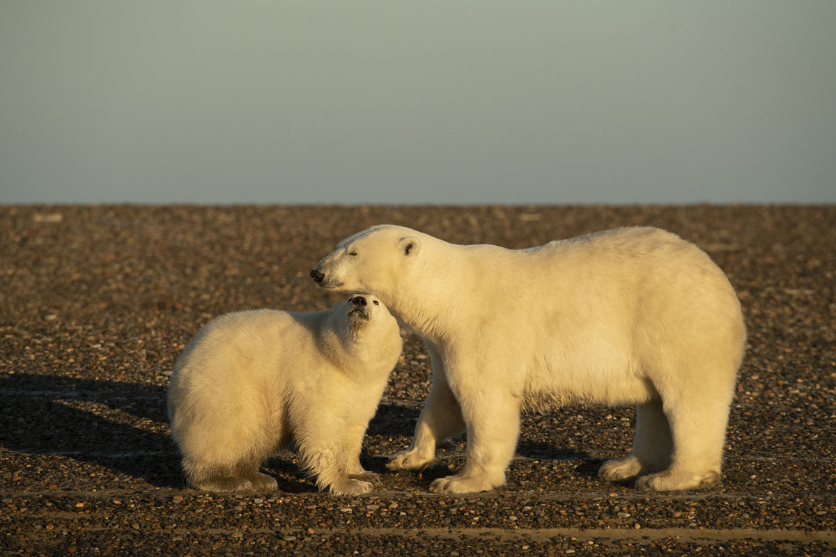 Arctic, Arctic National Wildlife Refuge, Autumn, Barter Island, Kaktovik, Polar Bears, marine, photo
