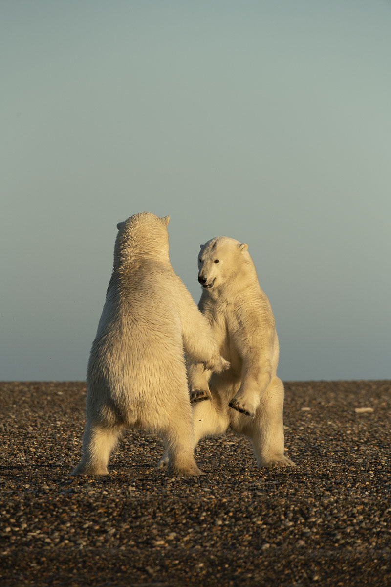 A pair of adult polar bear males stand to prepare for sparring on the Bernard Spit near the Inupiat village of Kaktovik on the...