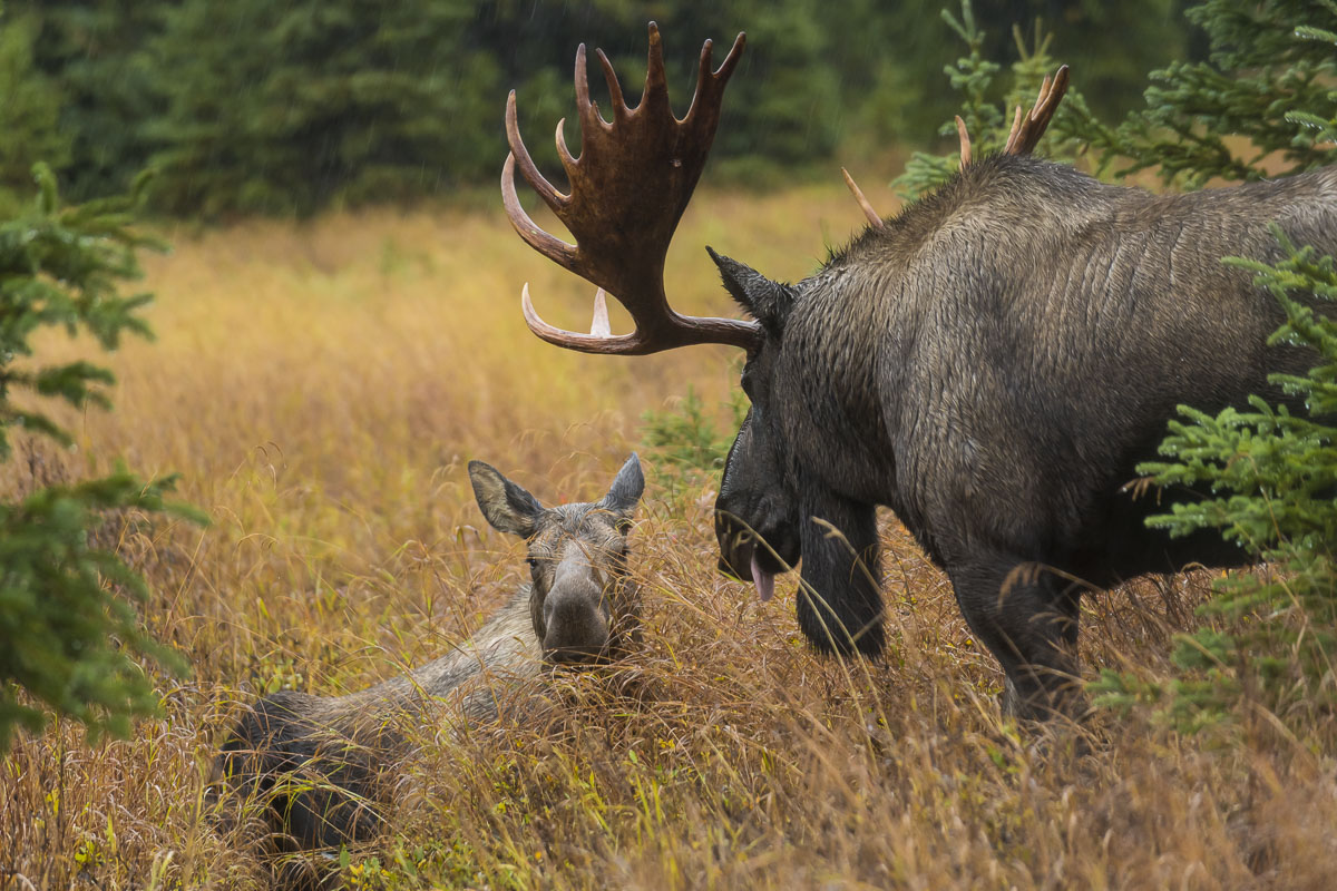 Large bull moose attempting to woo a cow moose, Chugach State Park