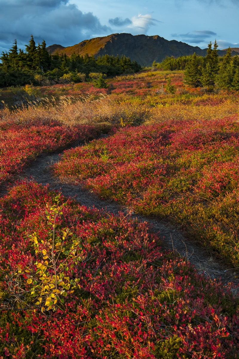 Dwarf birch and lowbush blueberries with trail in autumn, Chugach State Park.