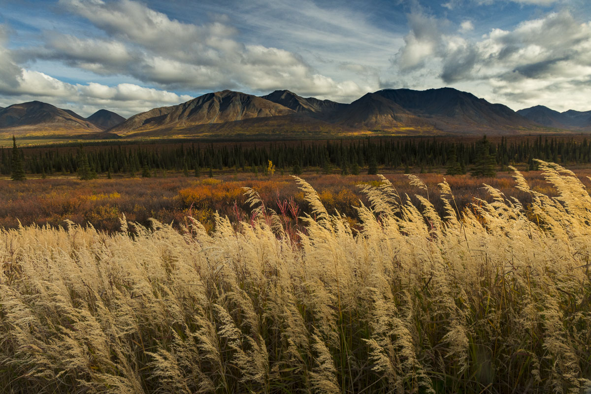 Tall grasses in Broad Pass, Alaska Range, in autumn