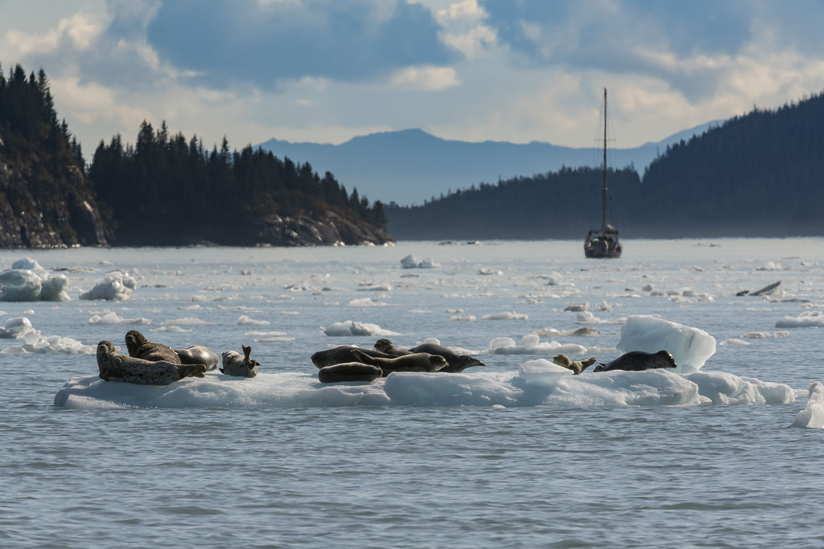 A group of harbor seals haul out and rest on a patch of glacial ice in Prince William Sound.