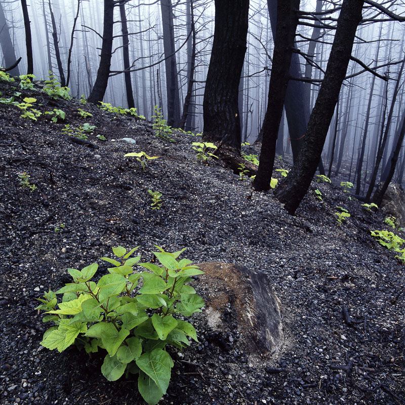 A cluster of new trees spring up from the soot and ashes from a recent forest fire near Many Glacier Road on the east side of...
