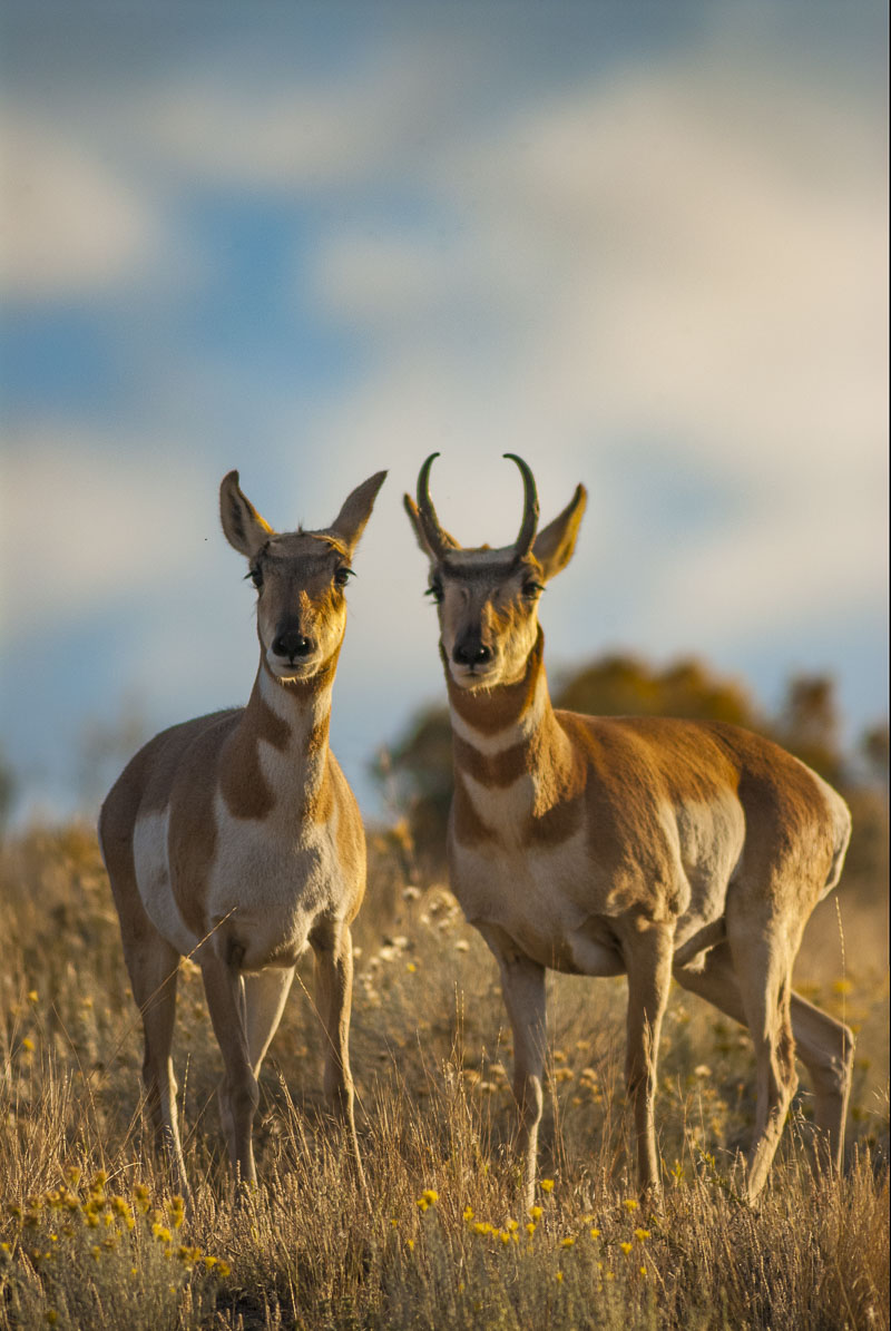 A pair of pronghorn pause  in evening light in autumn, National Bison Range, Montana.