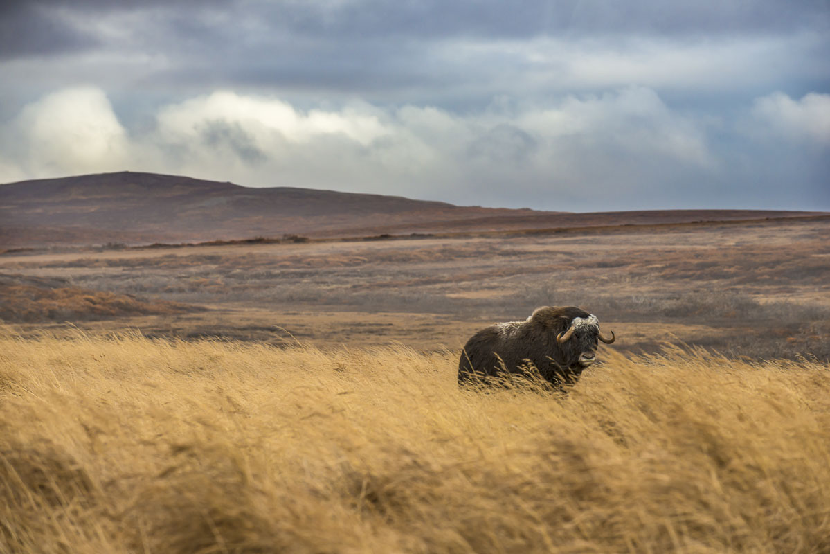 A lone bull musk ox stands in the stiff wind on the Seward Peninsula near Nome. He was part of a small herd that was gathered...