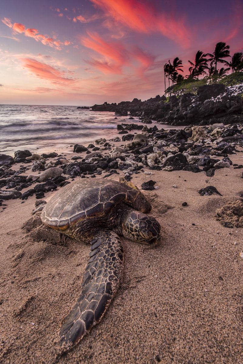 A sea turtle rests on the beach as sun sets along the Kona Coast of Hawaii.