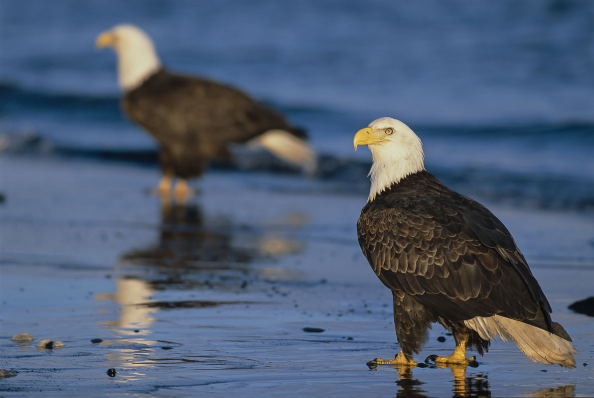 A pair of bald eagles stroll along the shores of Kachemak Bay on the Homer Spit in search of food in summer. Tango drum scan...