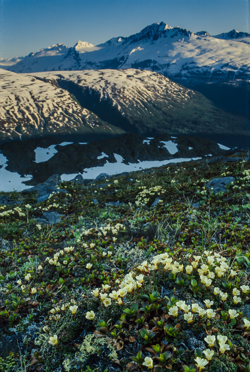 The alpine slopes of Thompson Pass are alive with a variety of wildflowers, including a large patch of mountain avens. Tango...