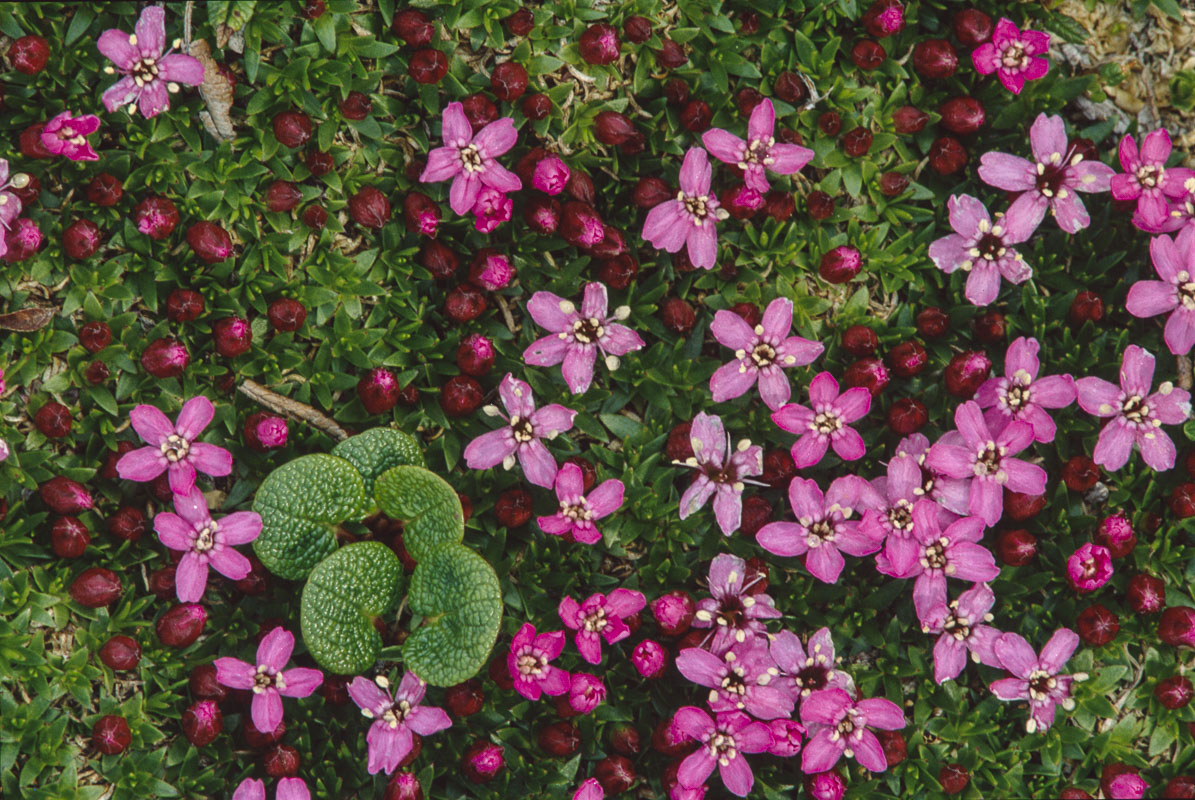 Pink flowers of the moss campion plant add rich color to the alpine tundra in Thompson Pass near Valdez, Alaska. Tango drum scan...