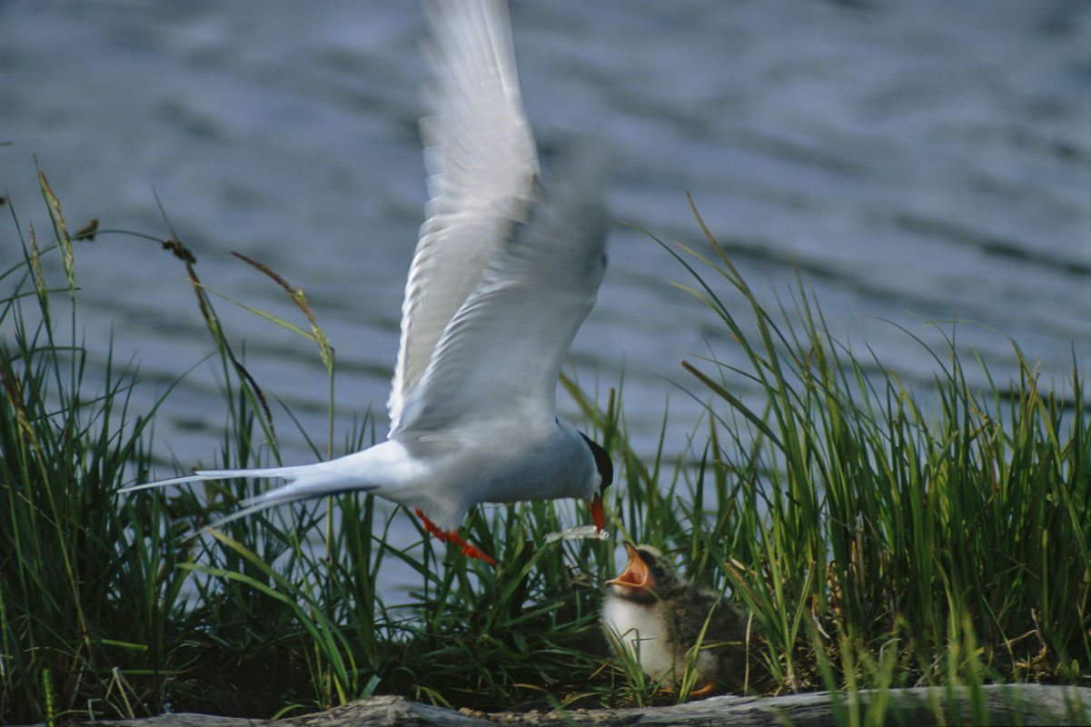 An adult Arctic tern feeds a minnow to its check at a nest along the water's edge in the Potter Marsh Bird Sanctuary, Anchorage...