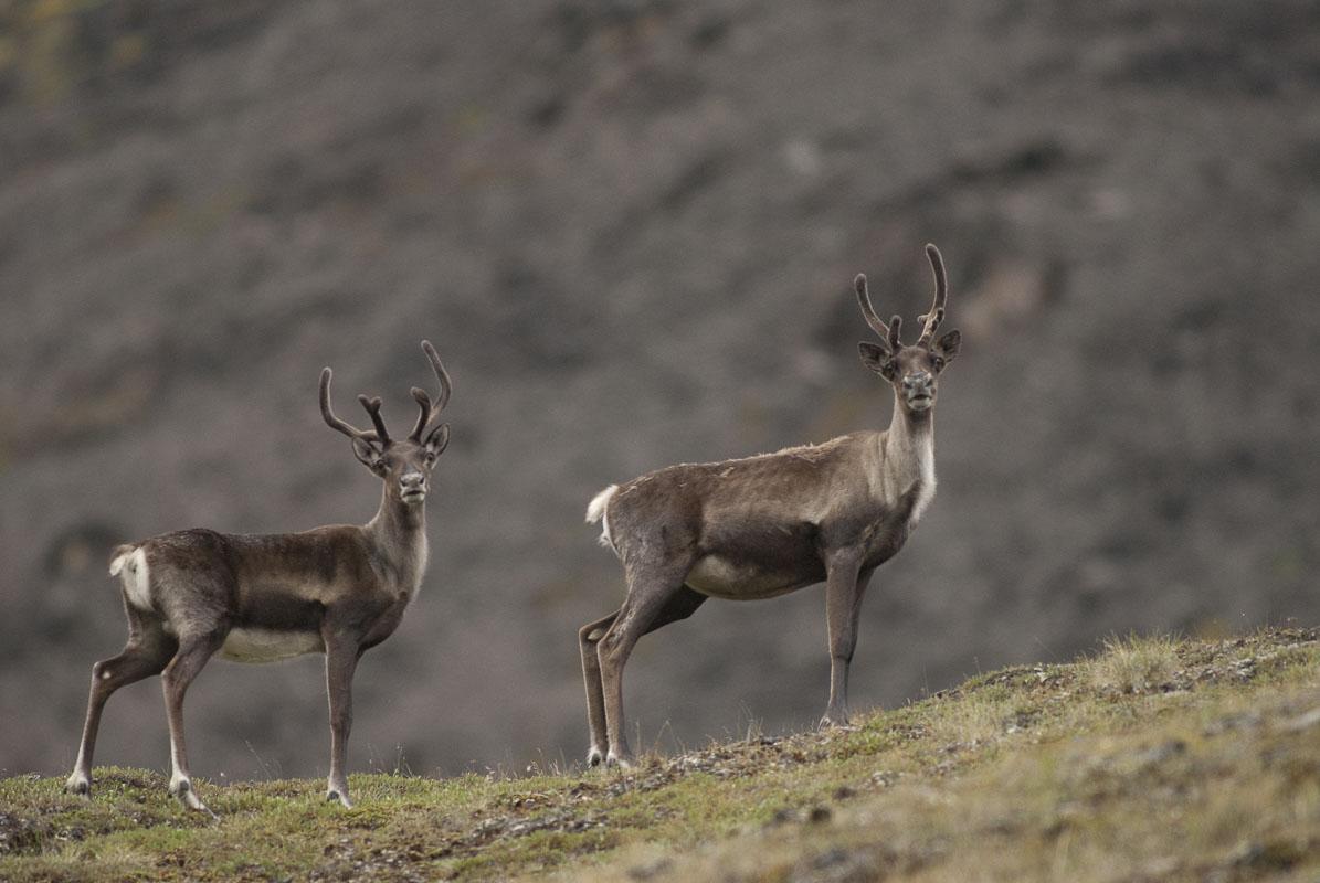 Alaska, Arctic, Autumn, Gates of the Arctic National Park & Preserve, caribou, national park, tundra, wildlife, photo
