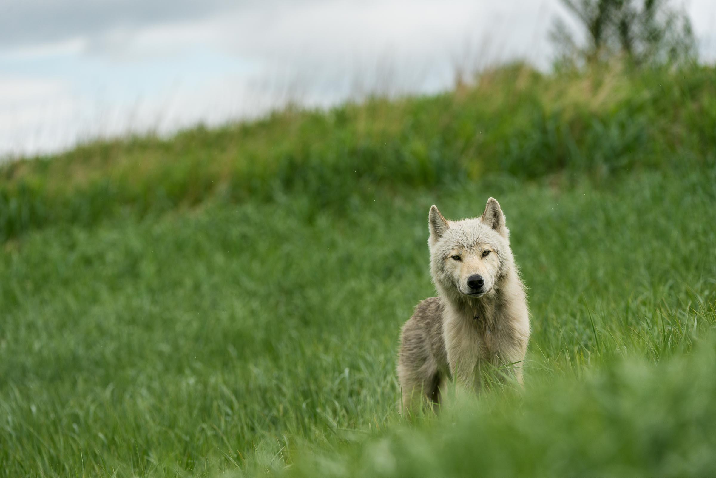 Wild wolf in grasses