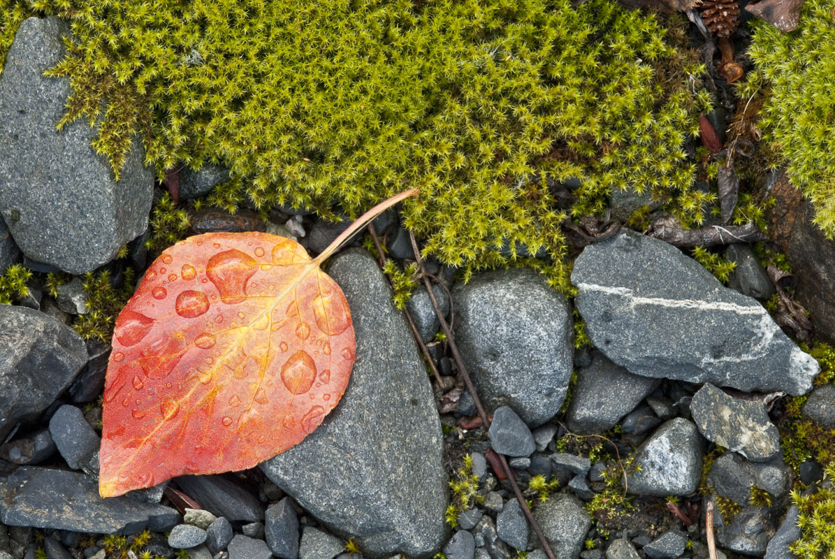 A lone birch leaf rests among rocks and mosses at Colony Glacier, Chugach Mountains, Alaska.