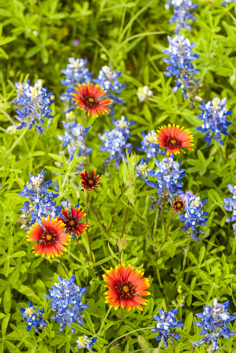 A cluster of Texas bluebonnets and Indian blanket provide a pop of color in the Texas Hill Country.