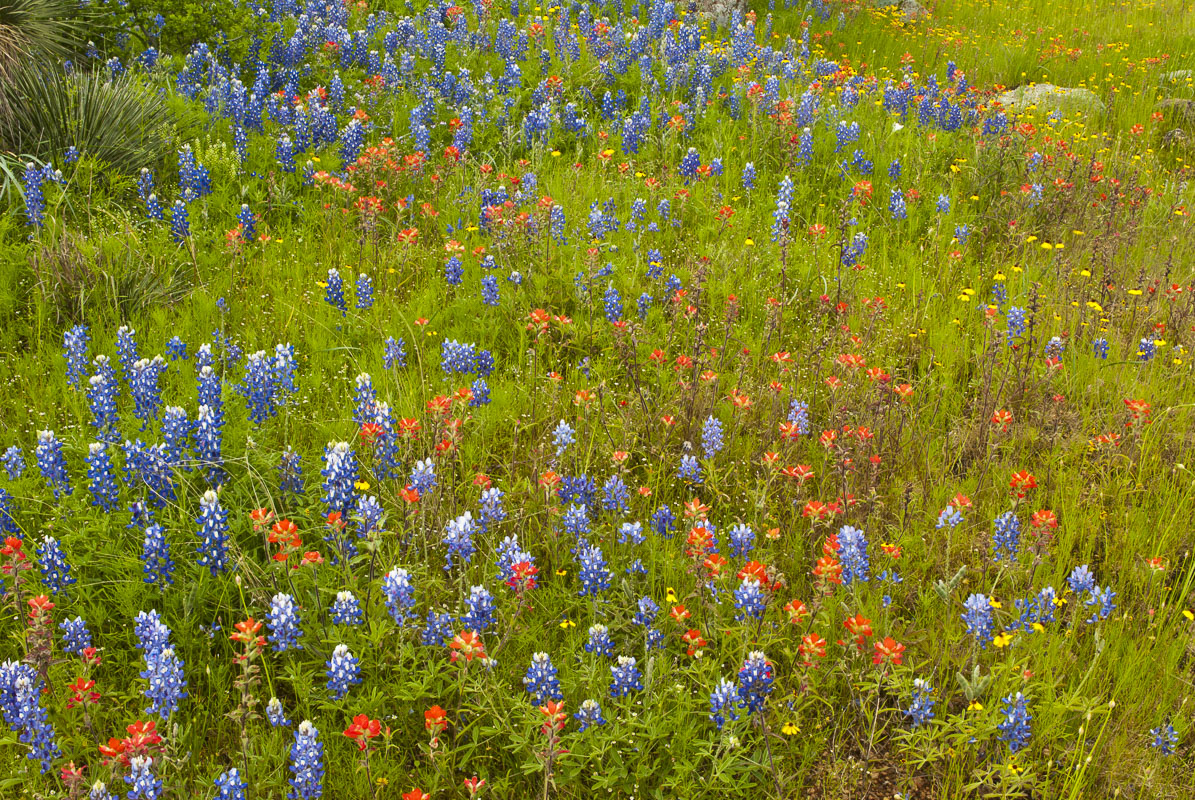 Texas bluebonnets and Indian paintbrush make up a lot of the colors in this area of the Texas Hill Country near Fredericksburg...
