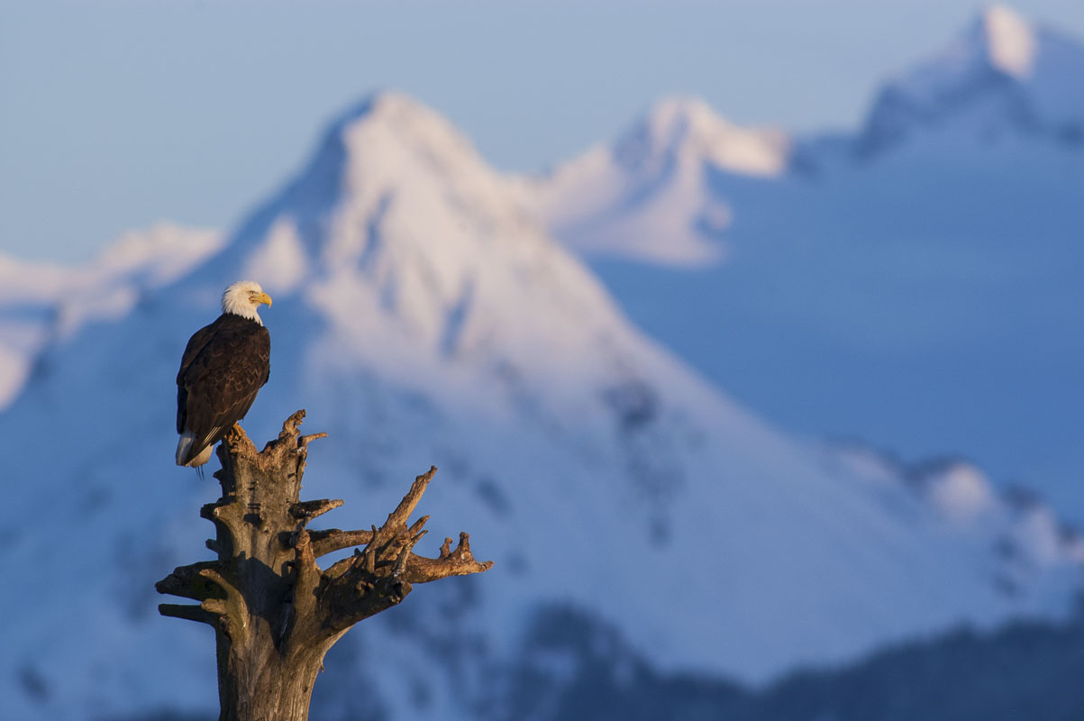 Alaska, Homer, Kachemak Bay, bald eagle, winter, photo