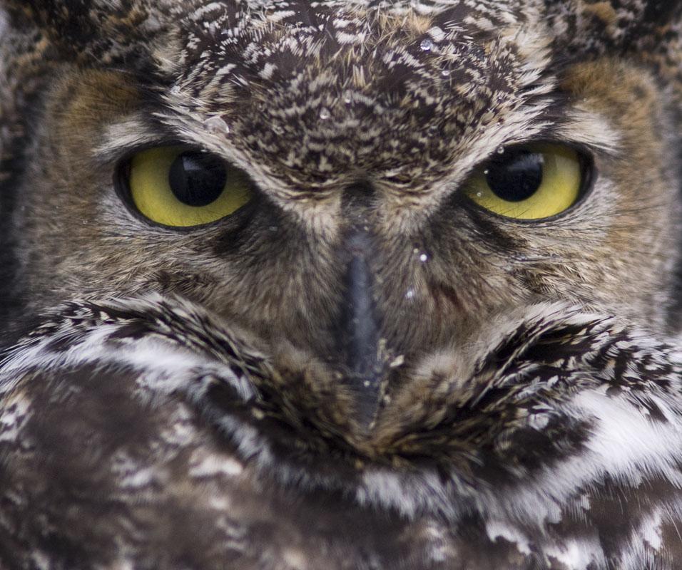 Alaska, Great Horned Owl, Homer, Homer Spit, Kachemak Bay, photo
